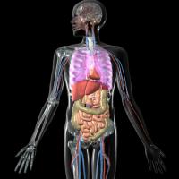 内蔵と血管